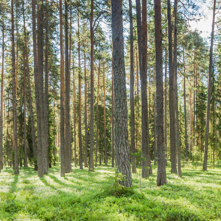 Swedish forest, SCA Skog, SCA Forest Products