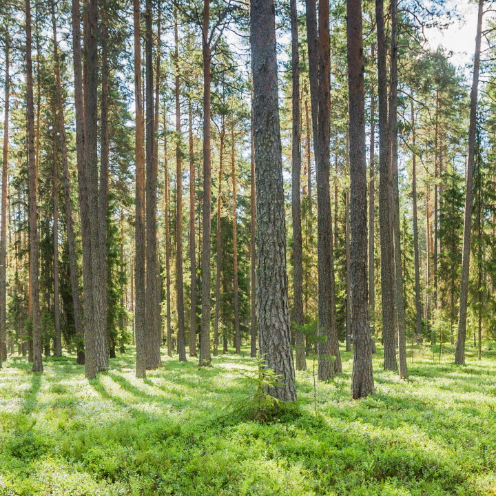 Solig tallskog, pine forets with sun